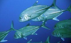 Entre sardines et carangues...les marins-pêcheurs de Martinique perdent à Paris ce qu'ils avaient gagné à Fort-de-France