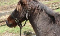 Le poney le plus recherché de #Martinique a été retrouvé la veille de Noël