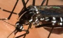 Épidémie en #Martinique : après le #chikungunya...le #choukungunya ?