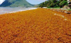 La plage du #Diamant en mode Sargasse Africa ambiance de la brousse