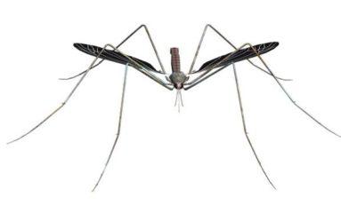 #Chikunguya en #Martinique : la gouvernance manque d'ingénierie,  le moustique affine sa tactique