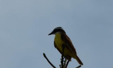 Les oiseaux de Martinique au CDST pour les Journées du Patrimoine