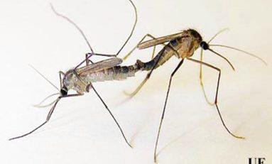 Vaincre la #dengue et le chikungunya grâce à un #moustique qui ne manque pas d'#ingénierie