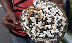 Le nid de #guêpes...le #caviar de l'île de La #Réunion