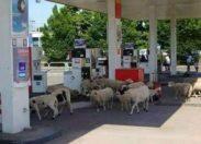 Moun abiyé an mouton ?