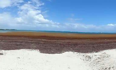 L'image du jour (3/05/15) #guadeloupe #algues #sargasses