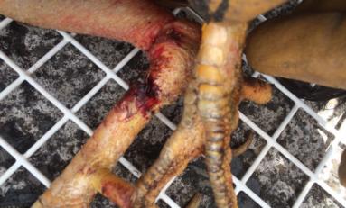 Quimbois à la Collectivité Territoriale de Martinique : le coq vivant avait les deux pattes cassées  et...