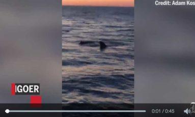Un grand requin blanc dévore un phoque devant une plage (vidéo)