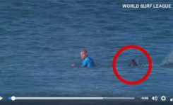 Un requin attaque un surfeur en direct à la tv (vidéo)