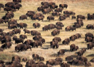 USA : Et soudain, des bisons sortis de nulle part...