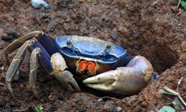 Martinique /Guadeloupe : vos crabes sont-ils sains ou contaminés au chlordécone  ?