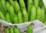 Intempéries en Martinique : les bananes ont souffert