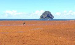 Les algues sargasses...la solution est là