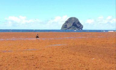 L'image du jour 10/05/18 - Martinique - Rocher du Diamant  - Algues sargasses