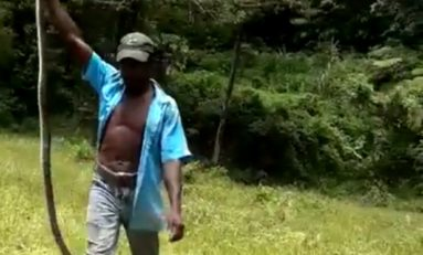 Un serpent de 2 m capturé en Martinique