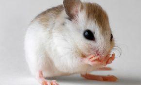 Chlordécone : on est fait comme des rats ! (communiqué officiel)