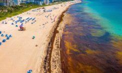 L'invasion des sargasses dans la Caraïbe (photos, vidéos)