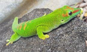 L'image du jour 14/09/18 - île de La Réunion- Gecko