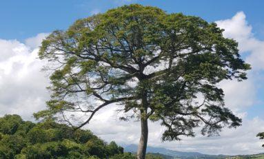 L'image du jour 25/10/18 - Fromager - Martinique