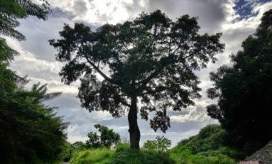 L'image du jour 03/11 /18 - Martinique-Fromager-Prêcheur