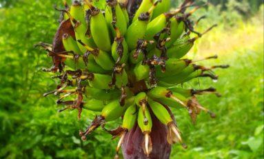 Images du jour 09/11/18 - Régime de bananes-Martinique