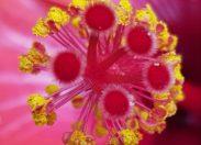 Image du jour 11/11/18 - Martinique-Hibiscus