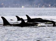 Des orques au large de Saint-Pierre en Martinique