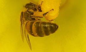 Une fleur de giraumon, deux abeilles, du pollen...à méditer