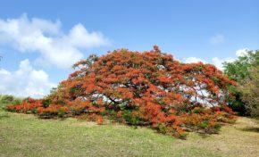 Images du jour 08/08/20 - Flamboyants - Martinique
