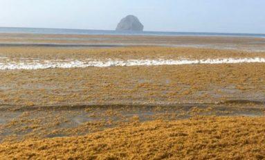 L'image du jour-  08/04/21 - Algues sargasses - Martinique