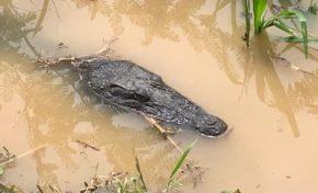 Un crocodile photographié au Lamentin. Est-ce Georges ou Sergio ?