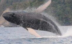 Une baleine fait la belle au large du Prêcheur en Martinique
